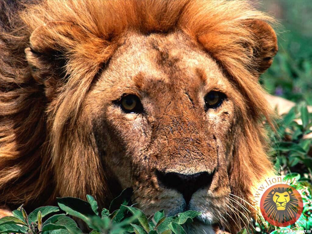 Львы обои