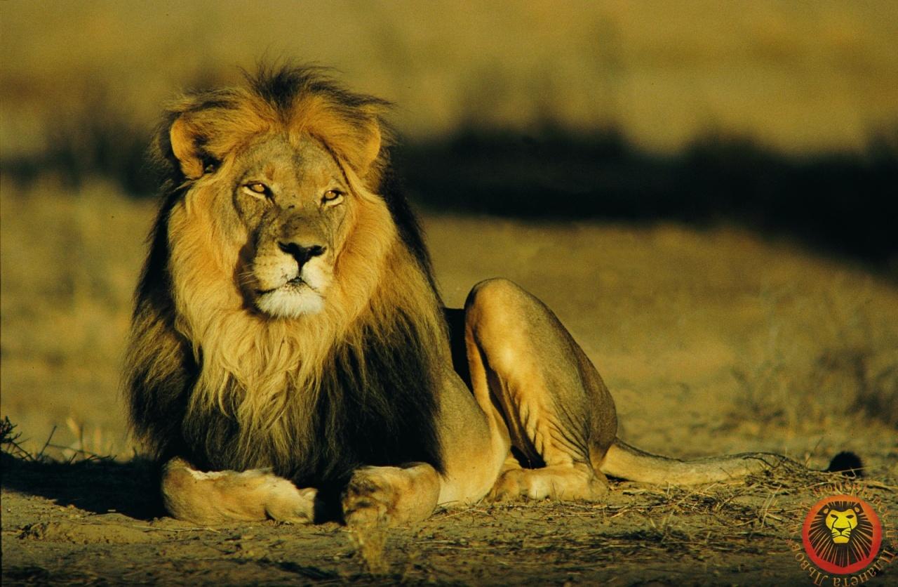 Львы натура